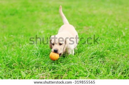 Beautiful dog puppy Labrador Retriever playing with rubber ball on grass - stock photo