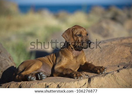 Beautiful dog rhodesian ridgeback hound puppy outdoors on blue sky backround