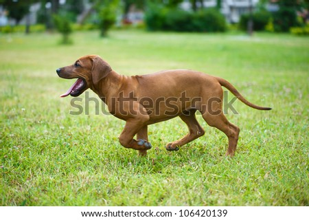 Beautiful dog rhodesian ridgeback puppy playing outdoors - stock photo