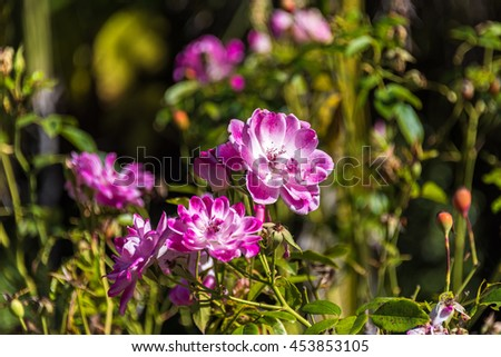 Beautiful dog rose flower in full bloom on sunny day with leaves and hips on the background. Nature floral scene - stock photo