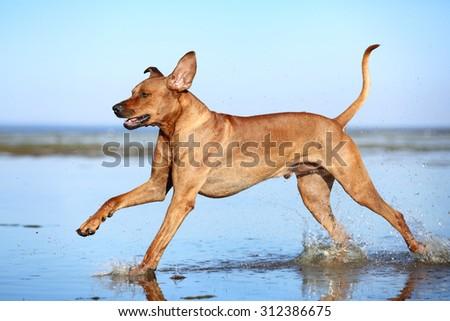 Beautiful dog running on water - stock photo