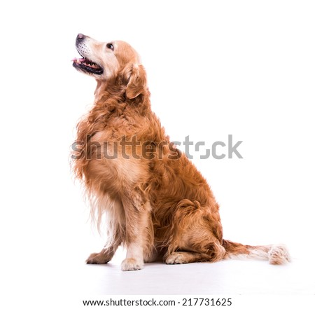 Beautiful dog sitting down - isolated over a white background - stock photo