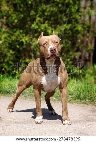 Beautiful dog, the American Pit Bull Terrier - stock photo