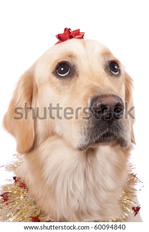 Beautiful dog with bow and funny look - stock photo