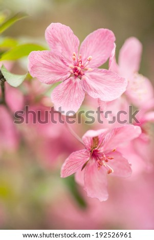 Beautiful Dogwood tree flowers blooming in spring in Illinois - stock photo