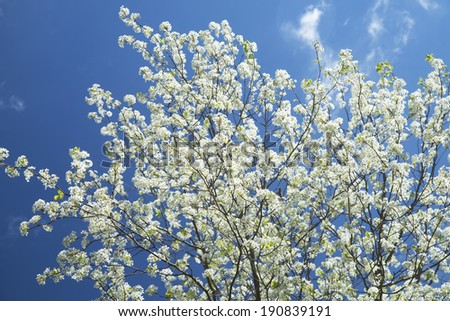 Beautiful Dogwood Trees blooming against a clear blue sky. - stock photo