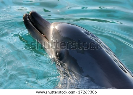 Beautiful dolphin with the sun shining off it' smooth skin