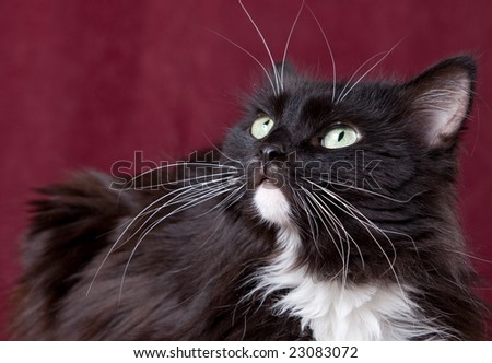 Beautiful domestic cat on a red background - stock photo