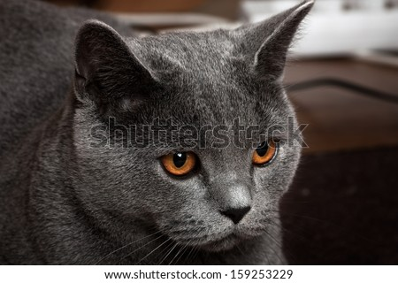 Beautiful domestic gray or blue British short hair cat with yellow or golden  eyes