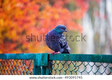 Beautiful dove sitting on fence. Beautiful autumn. Red and Yellow leaves.