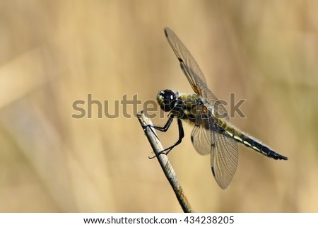 Beautiful dragonfly. Macro shot of nature. Libellula depressa. Insects up close.  - stock photo