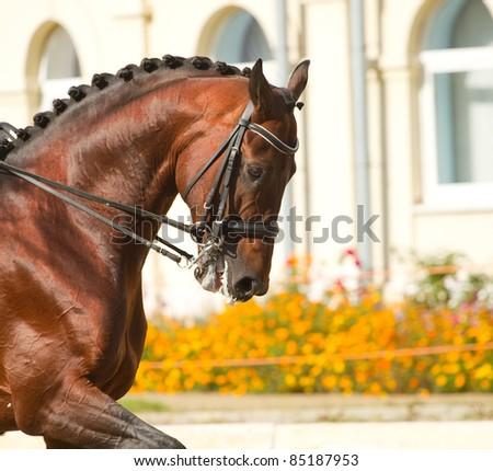 beautiful dressage horse - stock photo