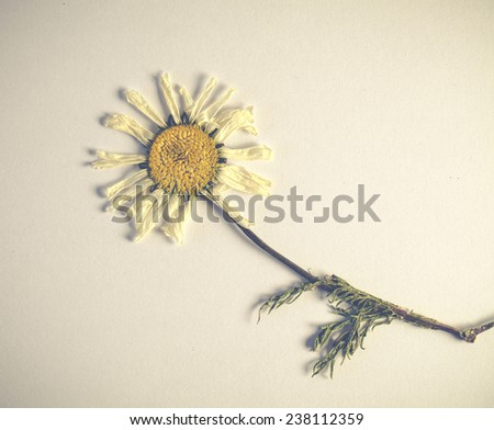 Beautiful dried flower camomile
