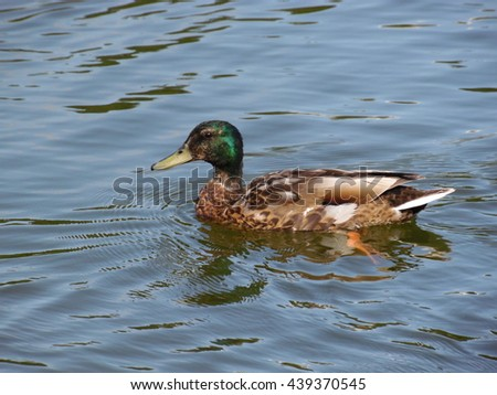 Beautiful duck drake floats on the surface of the pond in good weather/Floating duck - stock photo