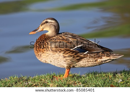 Beautiful  Duck on the green grass - stock photo