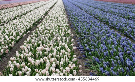 Beautiful Dutch Hyacinth Field. Spring flowers, Netherlands (Holland). Fields of Blooming Hyacinth Flowers. Vibrant floral background. - stock photo