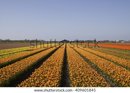 Beautiful dutch tulips field with a blue sky. Famous dutch tulip flowers in Holland. - stock photo