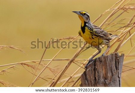 Beautiful Eastern Meadowlark male perched on a fence post in a pasture field in Central Panama - stock photo