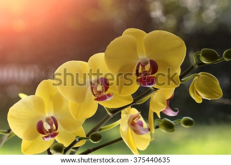 Beautiful elegant cute blossom of bright yellow orchid flower exotic tropical plant natural beauty and elegance greeting card wallpaper closeup on sunlight blur background outdoor, horizontal picture - stock photo