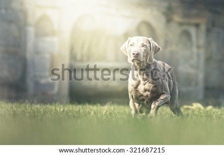 beautiful elegant weimaraner dog or puppy running dream castle background with sunset - stock photo