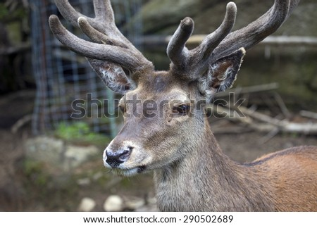 Beautiful elk buck taken in the forest