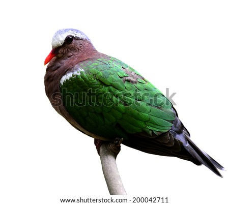 Beautiful Emerald Dove Pigeon bird sitting on the branch isolated on white background - stock photo