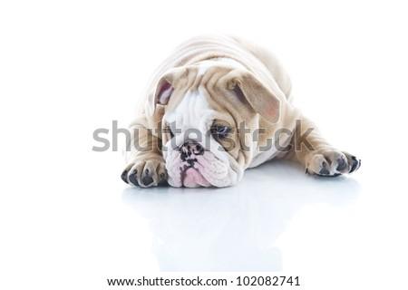 Beautiful English bulldog puppy isolated - stock photo