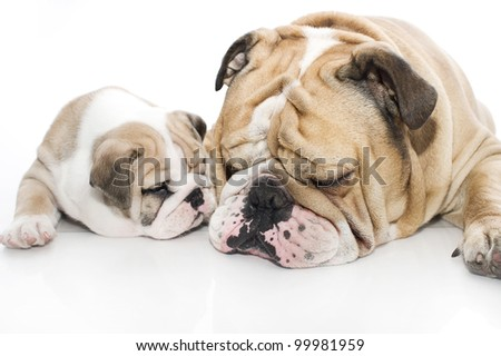 Beautiful english bulldog puppy with its father isolated