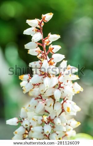 Beautiful Erica carnea flower in spring garden, macro photo - stock photo