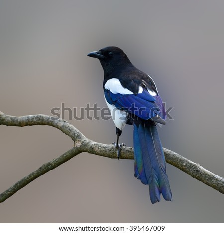 Beautiful Eurasian magpie, European magpie, Common magpie (Cyanopica cyanus) perching on a branch. - stock photo