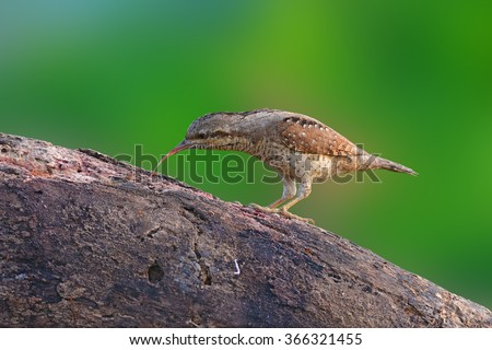 beautiful Eurasian wryneck (Jynx torquilla) bird standing on a log and eating ant. - stock photo