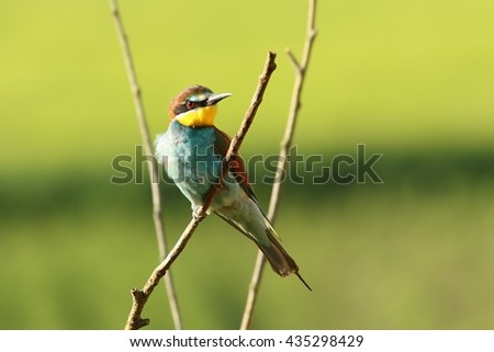 beautiful european bee eater perched on branch ( Merops apiaster ) - stock photo