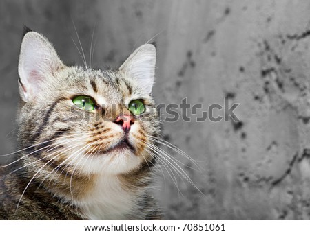 beautiful  European cat in front on a gray background - stock photo
