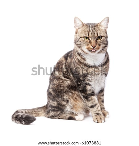 beautiful European cat in front on a white background with tongue out - stock photo