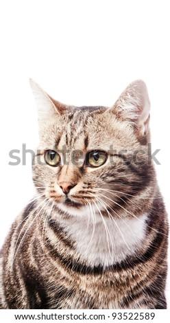 beautiful European cat on a white background - stock photo