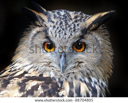Beautiful European eagle owl in
