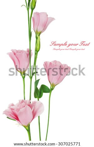 Beautiful eustoma flower isolated on white