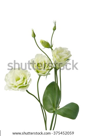 beautiful eustoma flowers isolated  on white background - stock photo