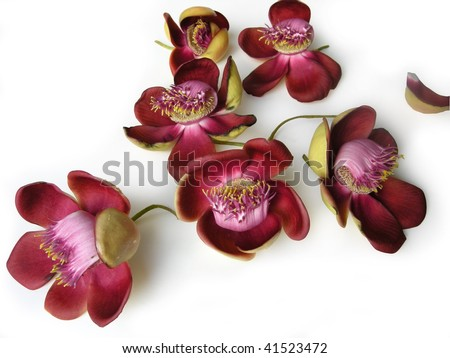 Beautiful, exotic and fragrant Cannonball flower is found in Asia, Africa and in South America in Amazon rainforests. - stock photo