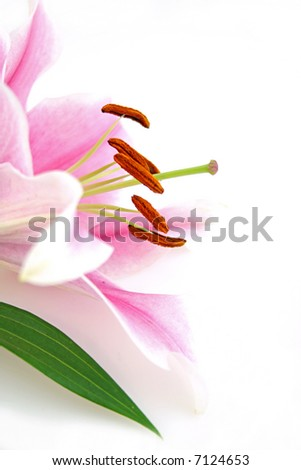 beautiful exotic lilly - stock photo