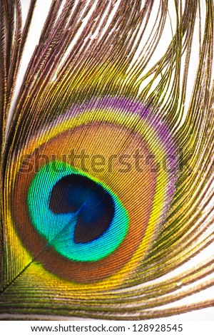 Beautiful exotic peacock feather on white background with copy space - stock photo