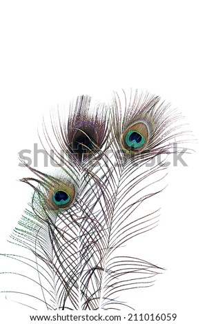 Beautiful exotic peacock feathers on a white background bird tropical green vivid - stock photo