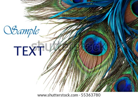 Beautiful exotic peacock feathers on white background with copy space. - stock photo