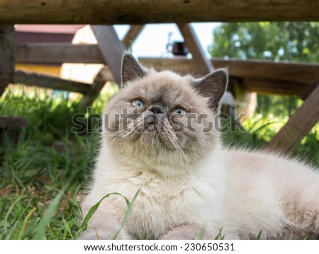 Beautiful exotic shorthair cat lying in the grass on nature. - stock photo