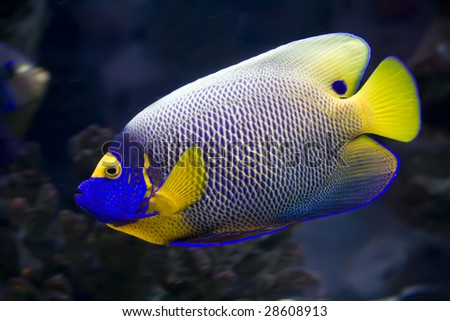 Beautiful exotic tropical fish angelfish - stock photo