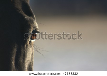 Beautiful eye on black horse in close-up - stock photo