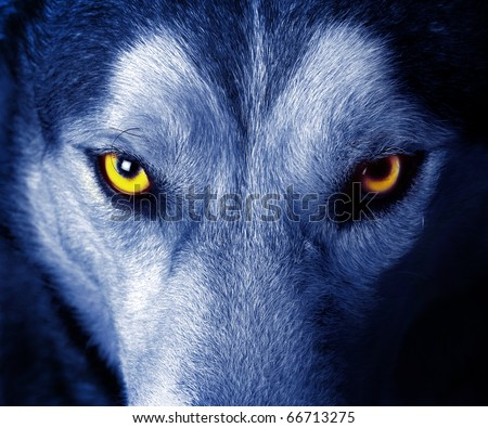 beautiful eyes of a wild wolf - stock photo