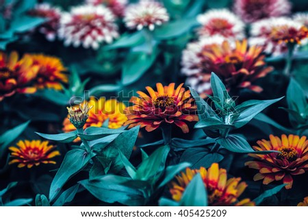 Beautiful fairy dreamy magic red and yellow zinnia flowers with dark green leaves, retro vintage style, soft selective focus, blurry background, copyspace for text - stock photo