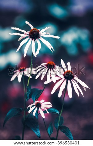 Beautiful fairy dreamy magic white daisy flowers with dark green  leaves, retro vintage color, soft selective focus, copyspace for text, close-up macro shot - stock photo
