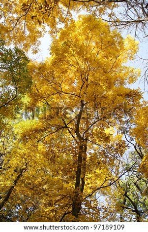 Beautiful Fall Autumn Tree with the leaves changing colors - stock photo